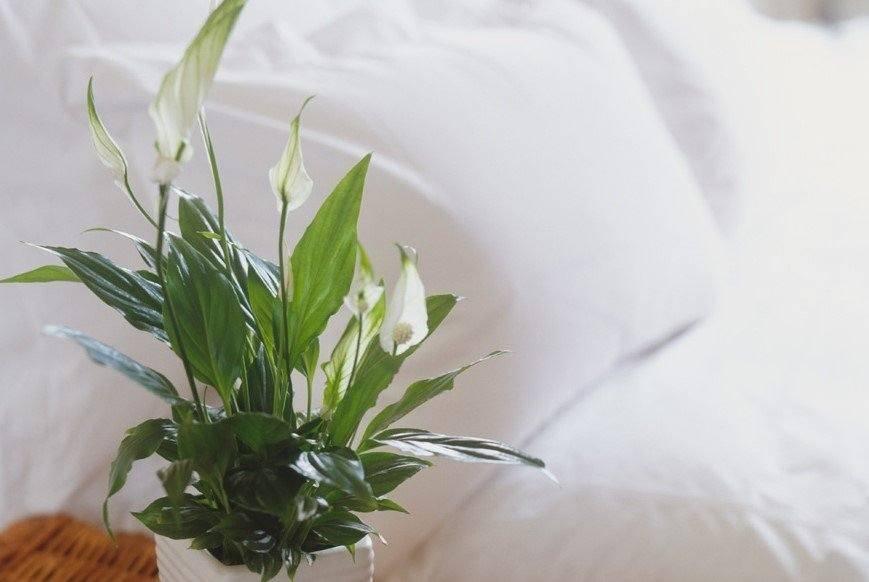 σπαθίφυλλο άσπρα άνθη φυτά κοιμάσαι καλύτερα