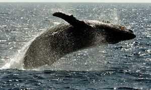 Βίντεο: Φάλαινα έχαψε δύτη που ψάρευε αστακούς- «Θεέ μου, είμαι στο στόμα της!»
